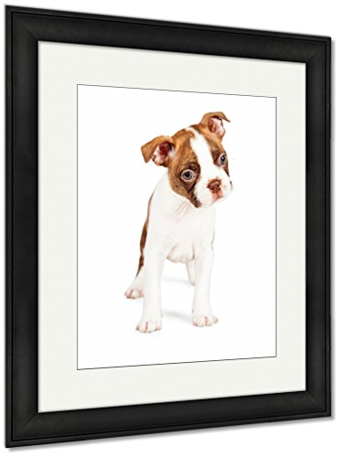 Ashley Framed Prints Boston Terrier Puppy Tilting His Head, Wall Art Home Decoration, Color, 40x34 (frame size), Black Frame, AG6332077