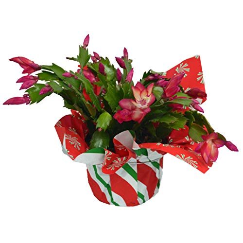 "The Three Company Live Flowering 4.5"" Christmas Cactus (3 Per Pack), Perfect Gift, Assorted Holiday Colors"