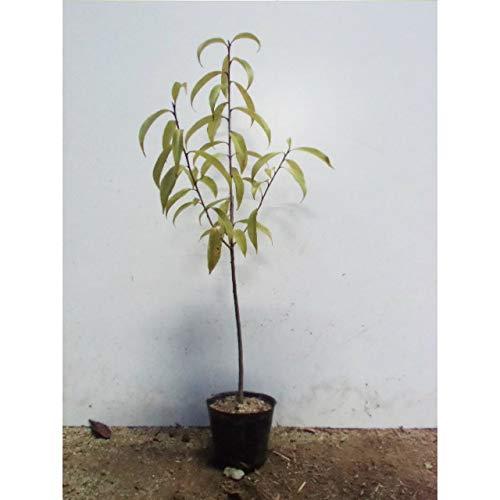 【45本セット】 ナナミノキ 樹高0.5m前後 10.5cmポット 七実の木 ななみのき 苗木 植木 苗 庭木 生け垣 B01I1HPOPY