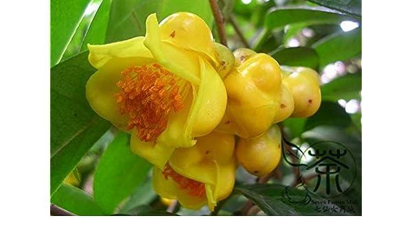 25 Seeds Golden Camellia Seeds Camellia Nitidissima