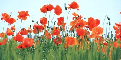 - Poppy Field by Jan Lens - 39.5x19.75 Inches - Art Print Poster