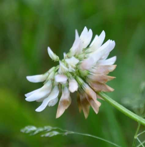 White Dutch Clover - SeedRanch Nitro-Coated and Inoculated Seedranch White Dutch Clover Seeds - 5 Pounds