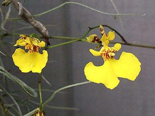 Oncidium (Tolumnia) urophyllum - Orchid Plant - Miniature - Indigenous to Lesser Antilles - Care Oncidium Orchid