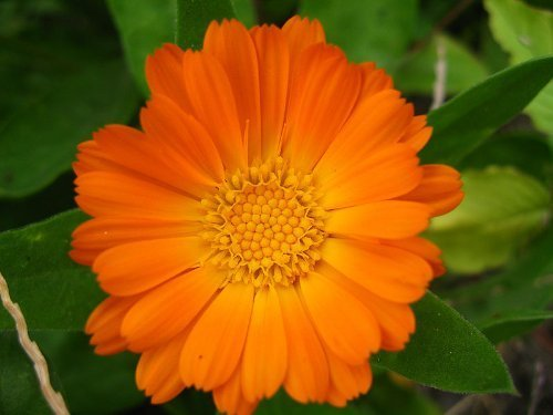 Marigold Pots (100 ORANGE ENGLISH MARIGOLD (Scotch / Pot Marigold) Calendula Officinalis Flower Seeds by)