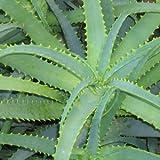 Aloe arborescens - 100 semi