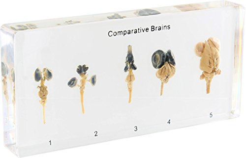 Comparative Brains – Real Specimens