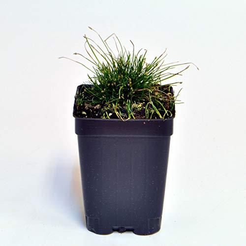 Eleocharis radicans, Toe Tickling Grass, Miniature Rush