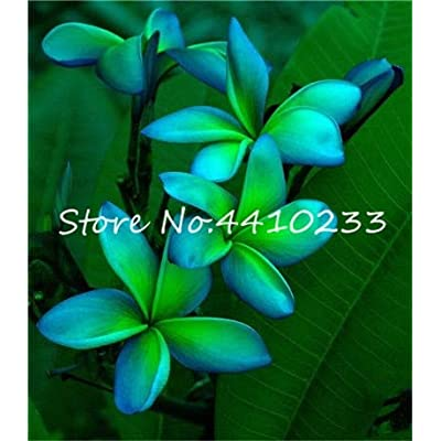 MAPPLEGREEN Bonsai 50 Pcs/Bag Plumeria Bonsai, Frangipani, Hawaiian Lei Flower, Rare Exotic Egg Flower Perfect Colors DIY Home Garden c: Garden & Outdoor