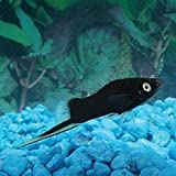 Black Swordtail Live Fish Package - Bulk Save