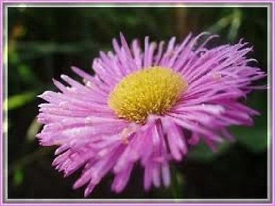 50+ ERIGERON Pink Jewel Perennial Flower Seeds/Drought Toler