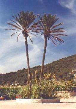 True Date Palm 15 Seeds - Phoenix dactylifera