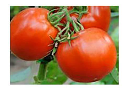Creole Tomato Seeds - 125 Seeds Non-GMO #SPFN