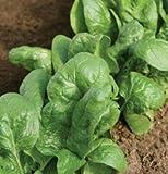 Spinach Tyee D646A (Green) 500 Seeds by David's Garden Seeds