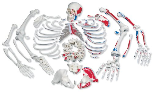 3B Scientific Disarticulated Full Skeleton