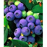 Blueberry seeds - Blueberry - 20 seeds
