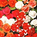 Impatiens Double Carousel Mix 100 seeds