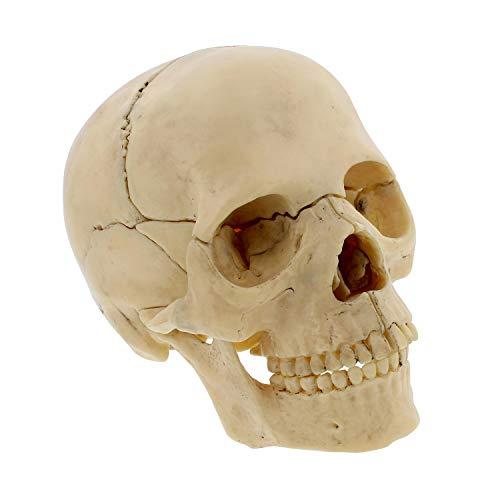 (MonMed   Didactic Human Skull Model - Half Life Sized Skeleton Skull 15 Piece Anatomical Skull Model Skull Puzzle, Achromic)