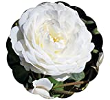 "Cloud 10 Rose Bush Reblooming Upright Climbing Rose Grown Organic 4"" Potted - Large 60+ Petal White Flowers!"