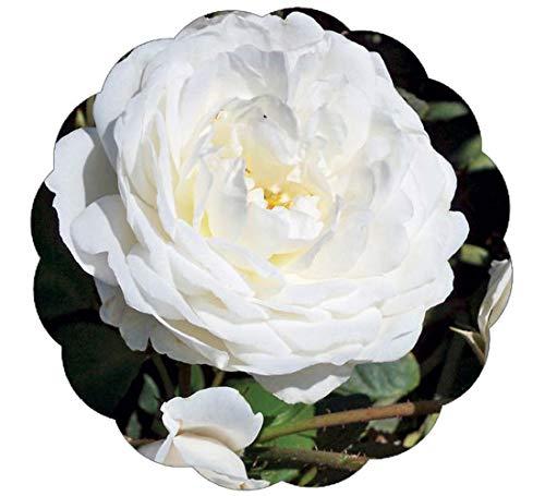 Stargazer Perennials Cloud 10 Rose Plant Potted Reblooming Upright Climbing Rose Bush - Large 60+ Petal White Flowers!
