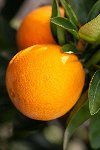 Washington Navel Orange Tree, Seedless Citrus (Excludes: CA,TX,LA,AZ)