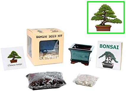 Amazon Com Eve S Chinese Juniper Bonsai Seed Kit Woody Complete Kit To Grow Chinese Juniper Bonsai Tree From Seed Toys Games