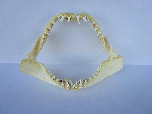 14 inch Mako Shark Jaw ()