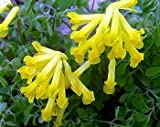 Yellow Bleeding Heart 20 Seeds - Corydalis lutea -SHADE