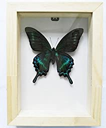 Lucklovely Rare Real Beautiful Paris Green Swallowtail Butterfly Insect Taxidermy Framed Mounted in Natrual Wood Display