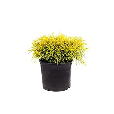 AMERICAN PLANT EXCHANGE Lemon Thread False Japanese Cypress Live Plant, 3 Gallon, 1Ft Height : Garden & Outdoor