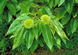 Chinese Chestnut Tree - Live Plants Shipped 3 Feet Tall by DAS Farms (No California)