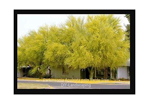 Palo Collection - Parkinsonia Aculeata, jerusalem thorn palo verde flowering jelly tree 30 seeds