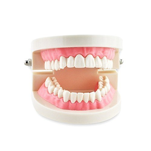 Pwhite Adult Gums Standard Typodont Demonstration Teeth Model Dental Teach Study Flesh Pink 1 Piece ()