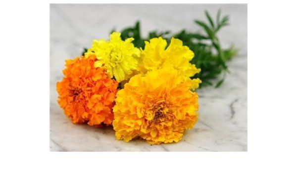 50 Samen hohe gelbe Tagetes erecta /'All Double Lemon/'