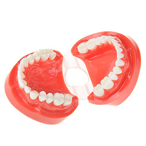 Amazon.com: AZDENT® Adult Standard Typodont Dental Teeth Teaching ...