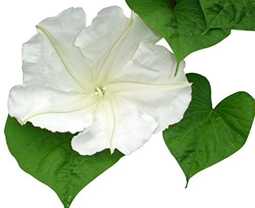 White Moonflower Vine Seeds - Climbing Vine Up to 15' by Marde Ross & Company