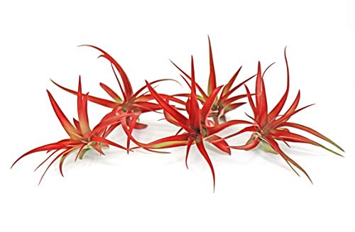 5 Live Air Plants | Bright Red Tillandsia Air Plant Pack | Colorful Indoor Plants | Real Houseplants | Easy Terrarium Decor Kit by Plants for Pets (Easy Plants To Grow In A Classroom)