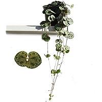 Leuchterblume, hängend, (Ceropegia woodii ssp. woodii), sehr pflegeleichte, hängende Zimmerpflanze