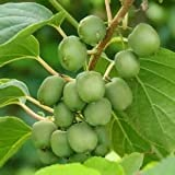 hot 100pcs/bag Heirloom Cocktail Miniature Kiwi Kiwiberry Berry Hardy Actinidia Arguta Fruit Seeds