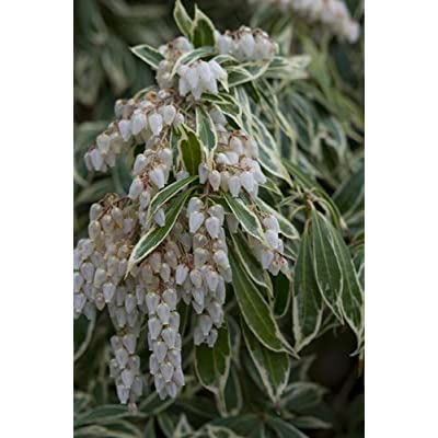 (1 Gallon) Variegated Pieris- Elegant Creamy-White-Edged Foliage Tops The List of Charming Traits for This Shrub : Garden & Outdoor