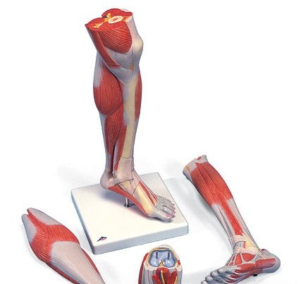 3B社 下肢の筋肉解剖模型 下腿膝付3分解モデル (m22)   B003Z2S9OO