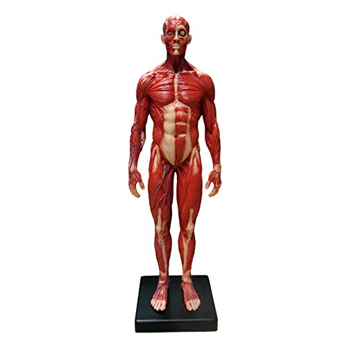 1/6 Scale PU Elastic Human Male Anatomy Model 12 inches Muscular System Figure Life Color