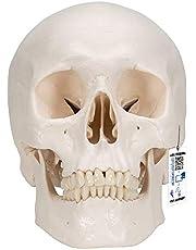 3B Scientific Human Anatomy - Klassiek model van menselijke schedel met magnetische verbindingen, driedelig + gratis anatomiesoftware - 3B Smart Anatomy