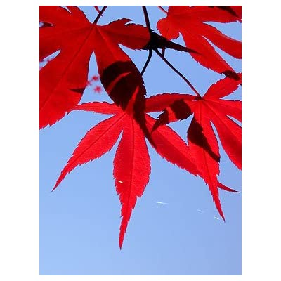 Emperor One Japanese Maple 4 - Year Live Plant: Toys & Games