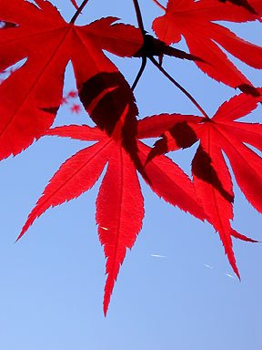 Amazoncom Emperor One Japanese Maple 4 Year Live Plant Tree