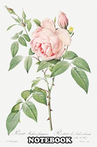 Notebook: Rosa Indica Fragrans Also Known As Fragrant Rosebush F , Journal for Writing, College Ruled Size 6