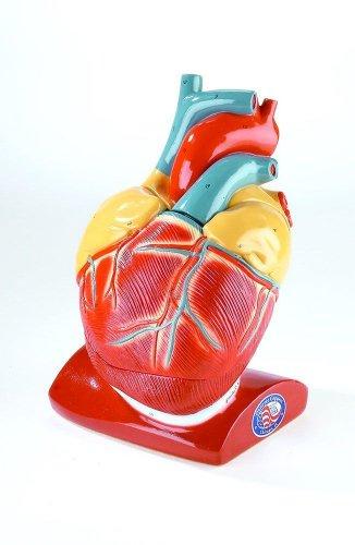 Giant Heart Anatomy Model With Pericardium And Diaphragm  (Jumbo Heart Model)
