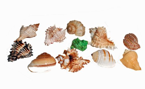 Florida Marine Research SFM34332 12-Pack Hermit Crab Shell, Large by Florida Marine Research