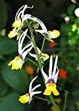 40+ Nemesia Masquerade Bi-Color Flower Seeds / Cheiranthus / Annual