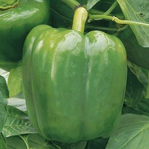 New Ace F1 Hybrid Pepper Seeds (80 Seed Pack)