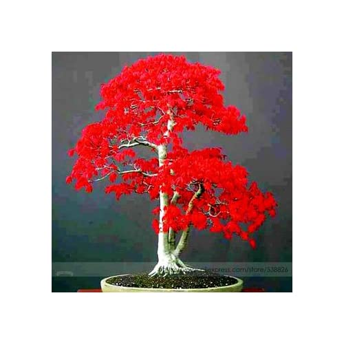 Potted plant seeds 20 PCS American blood red Maple Tree Seeds Bonsai Home & Garden 10pcs/lot RS74